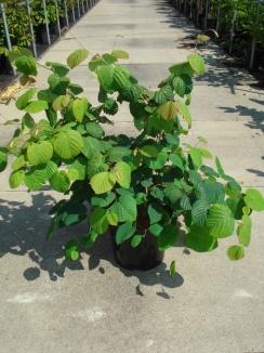 Corylopsis spicata | Schijnhazelaar (12L pot)