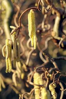 Corylus avellana 'Contorta' | Kronkelhazelaar