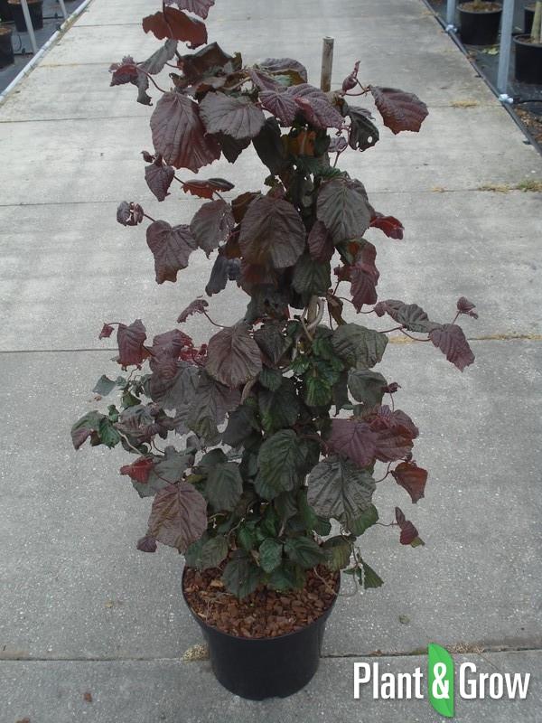 Corylus avellana 'Red Majestic' | Roodbladige kronkelhazelaar (12L pot)