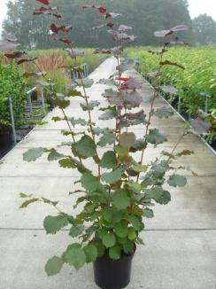 Corylus avellana 'Rode Zellernoot'   Hazelnoot (12L pot)
