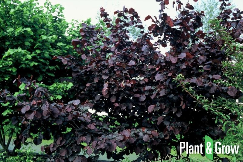 Corylus avellana 'Rode Zellernoot' | Hazelnoot