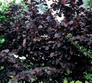Corylus avellana 'Rode Zellernoot' Hazelnoot