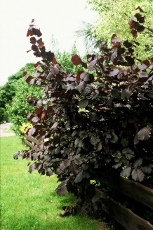 Corylus maxima 'Purpurea' | Roodbladige hazelaar