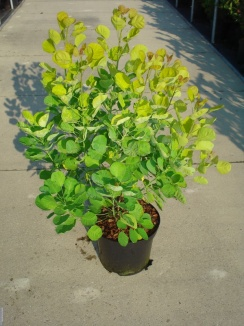 Cotinus coggygria 'Golden Spirit' | Pruikenboom (12L pot)