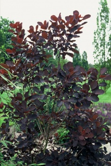 Cotinus coggygria 'Royal Purple' | Pruikenboom