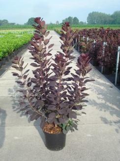 Cotinus coggygria 'Royal Purple'   Pruikenboom (12L pot)