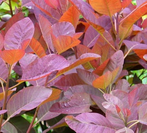 Cotinus coggygria 'Royal Purple' Pruikenboom