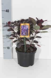 Cotinus coggygria 'Royal Purple' | Pruikenboom (Ø 17cm pot)