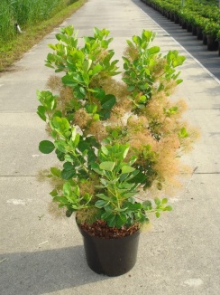 Cotinus coggygria 'Young Lady' | Pruikboom (12L pot)