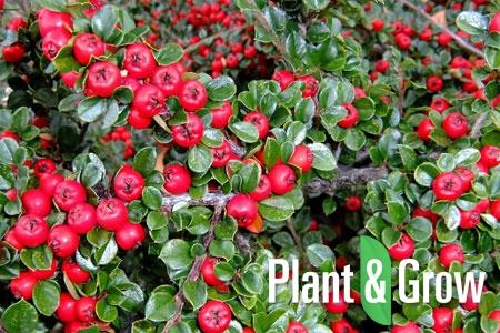 Cotoneaster dammeri radicans | Dwergmispel