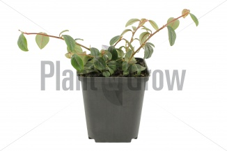 Cotoneaster dammeri | Dwergmispel (pot 9x9cm) - VOORJAAR