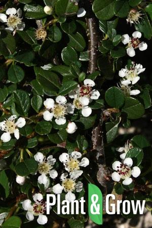 Cotoneaster procumbens 'Queen of Carpets' | Laagblijvende dwergmispel