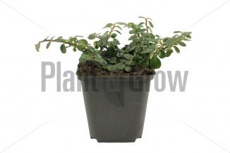 Cotoneaster procumbens 'Queen of Carpets' | Laagblijvende dwergmispel (pot 9x9cm) - VOORJAAR