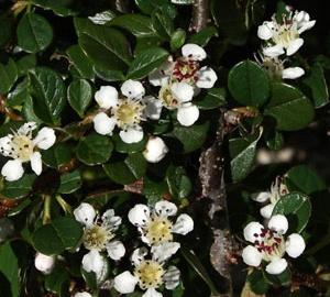 Cotoneaster procumbens 'Queen of Carpets' Laagblijvende dwergmispel