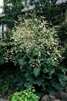 Crambe cordifolia | Zeekool