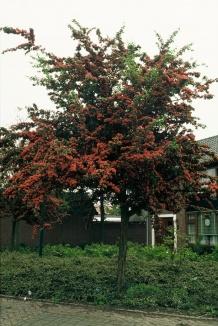 Crataegus laevigata 'Paul's Scarlet' | Tweestijlige meidoorn als boom