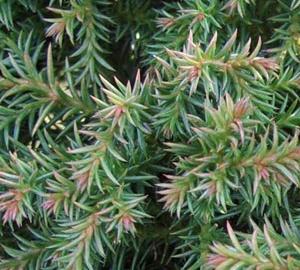 Cryptomeria japonica 'Vilmoriniana' Japanse cipres