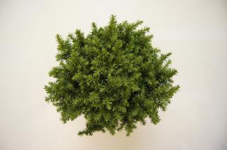 Cryptomeria japonica 'Vilmoriniana' | Japanse cipres (Ø 17cm pot)