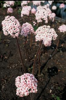 Darmera peltata | Schildblad bloem