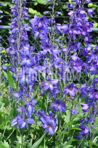 Delphinium pacific 'Black Knight' | Ridderspoor