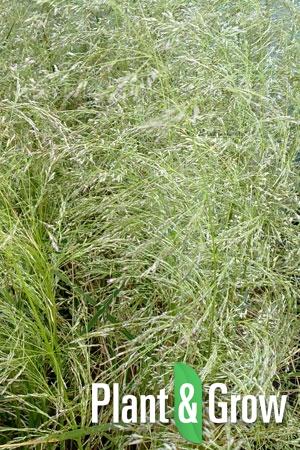 Deschampsia cespitosa 'Goldschleier' | Gewone smele