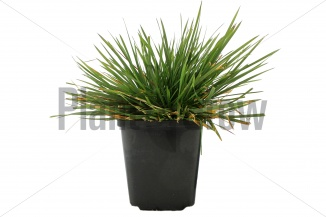 Deschampsia cespitosa 'Goldtau' | Ruwe smele (pot 9x9cm)