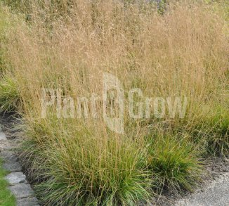 Deschampsia cespitosa 'Goldtau' Ruwe smele