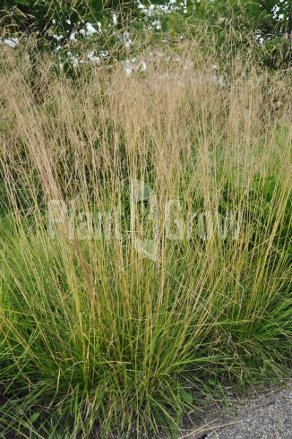 Deschampsia cespitosa 'Goldtau' | Ruwe smele