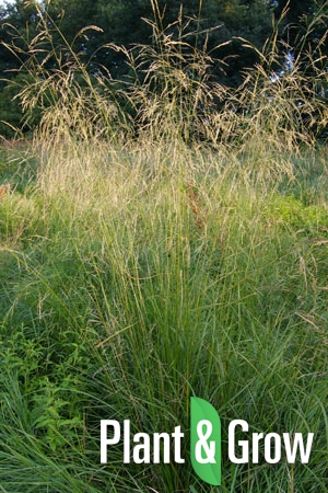 Deschampsia cespitosa | Ruwe smele