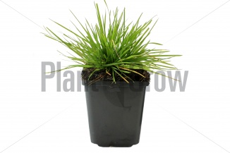 Deschampsia cespitosa | Ruwe smele (pot 9x9cm)