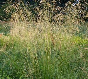 Deschampsia cespitosa Ruwe smele