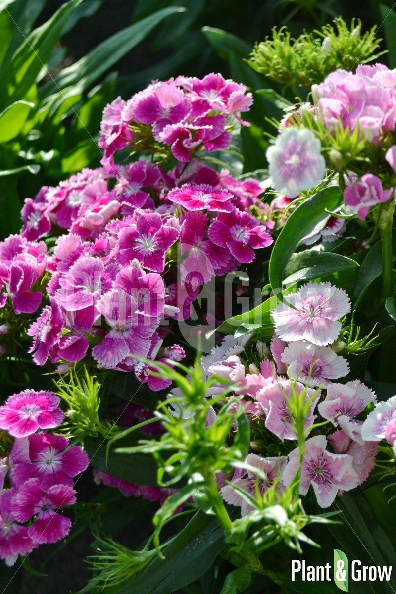 Dianthus barbatus 'Indianer Teppich' | Duizendschoon
