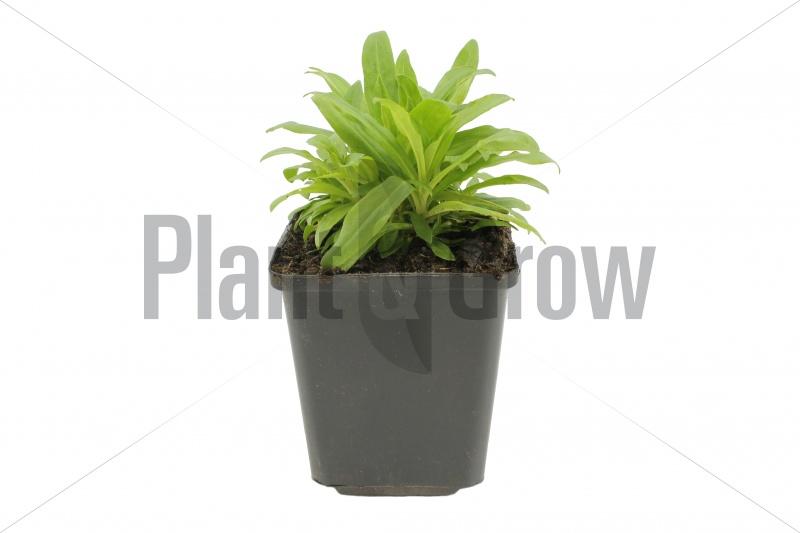 Dianthus barbatus 'Indianer Teppich'  Duizendschoon kopen