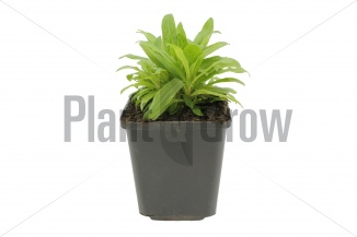 Dianthus barbatus 'Indianer Teppich' | Duizendschoon (pot 9x9cm) - VOORJAAR