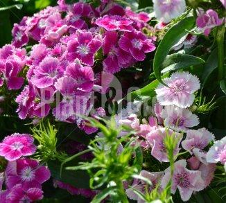 Dianthus barbatus 'Indianer Teppich' Duizendschoon