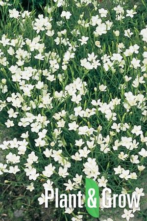 Dianthus deltoides 'Albiflorus' | Steenanjer