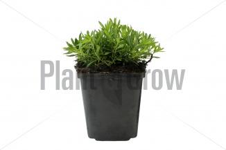 Dianthus deltoides 'Albiflorus' | Steenanjer (pot 9x9cm) - VOORJAAR