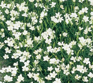 Dianthus deltoides 'Albiflorus' Steenanjer