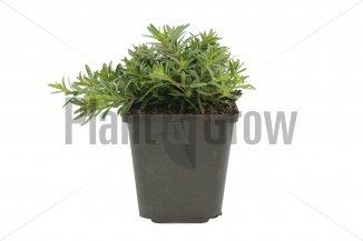 Dianthus deltoides 'Brilliant' | Steenanjer (pot 9x9cm)