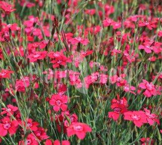 Dianthus deltoides 'Brilliant' Steenanjer