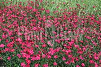 Dianthus deltoides 'Brilliant' | Steenanjer
