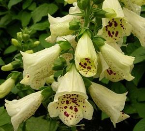 Digitalis grandiflora Groot vingerhoedskruid