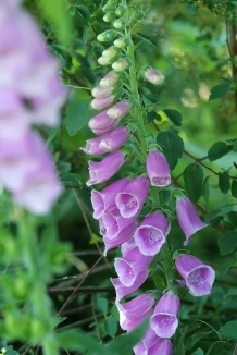 Digitalis purpurea | Vingerhoedskruid
