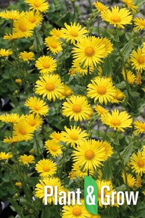Doronicum orientale 'Magnificum' | Voorjaarszonnebloem