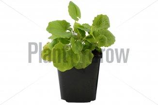 Doronicum orientale | Voorjaarszonnebloem (pot 9x9cm)
