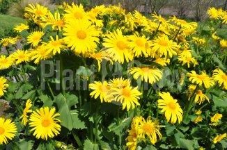 Doronicum orientale | Voorjaarszonnebloem