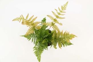 Dryopteris erythrosora | Rode sluiervaren (Ø 17cm pot)