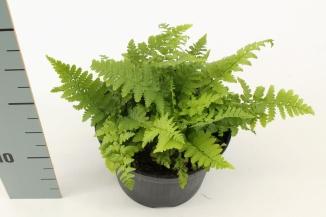 Dryopteris filix-mas | Mannetjesvaren (Ø 17cm pot)