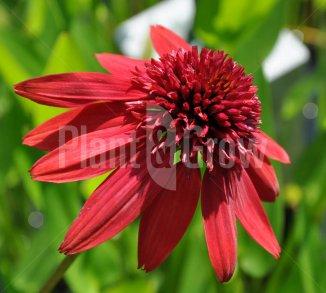 Echinacea 'Eccentric'