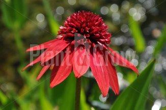 Echinacea 'Eccentric' | Zonnehoed